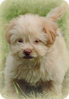 Anderson Sc Shih Tzu Poodle Toy Or Tea Cup Mix Meet Essy A Puppy For Adoption Http Www Adoptapet Com Pet 12882107 Anderson South Carolin With Images Puppy Adoption