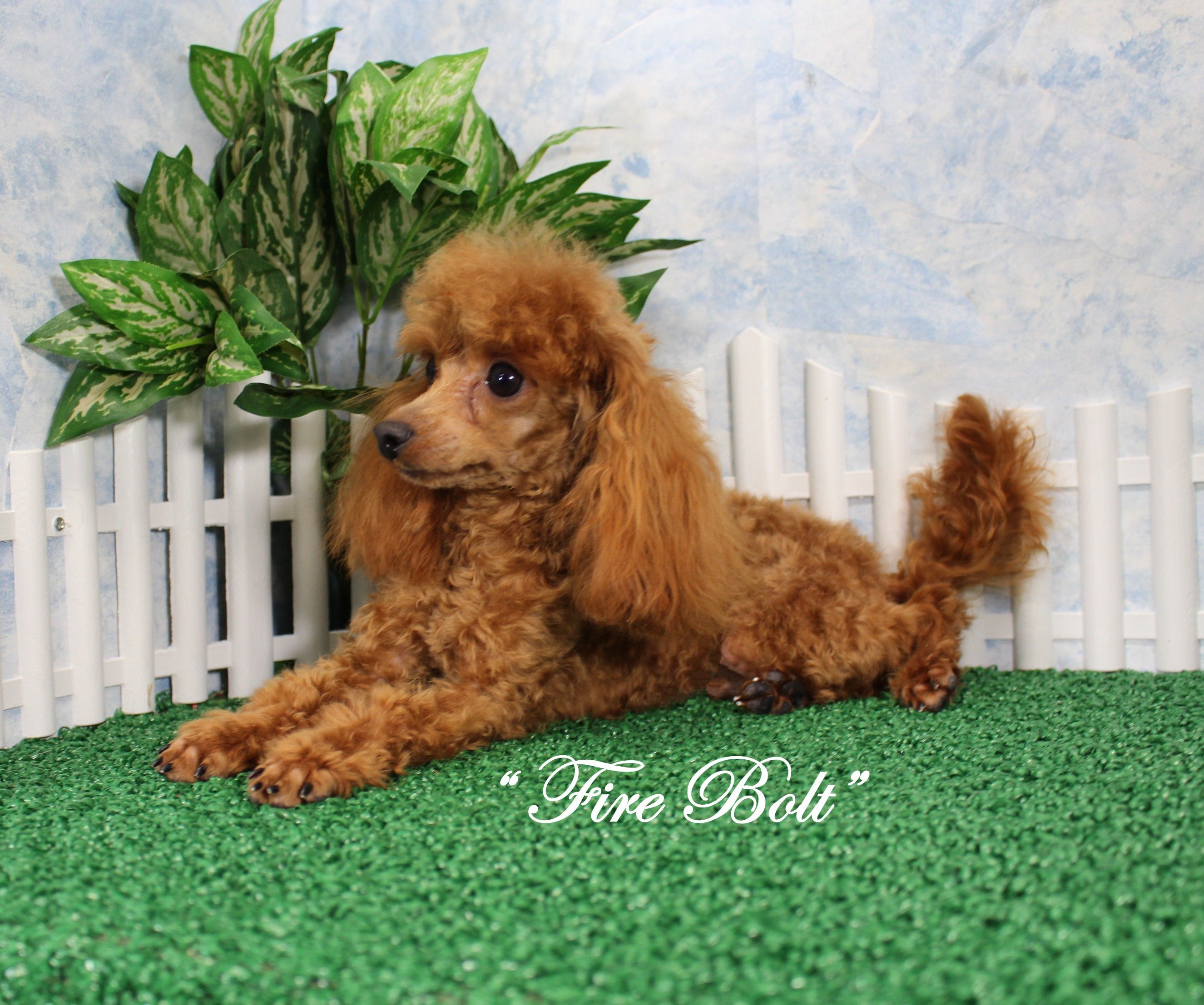 Designer And Mix Puppies Morkies Maltipoos Red Maltipoos Yorkshire Terrier Shih Tzu Havanese Toy And Teacup Poodle Yorkie Poo Poodle Puppy White Puppies