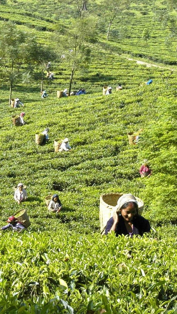 0c1ca746184494ce716922018bd7f77b - List Of Tea Gardens In Darjeeling
