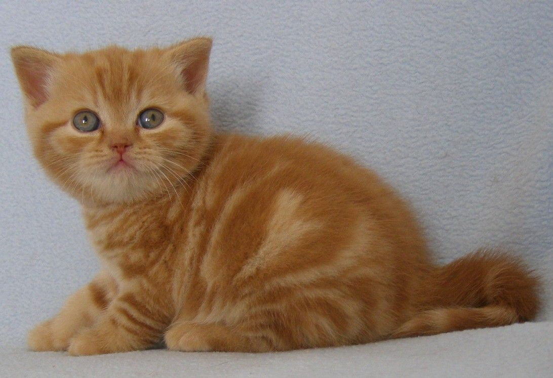 British shorthair red boy with blotched tabby Here