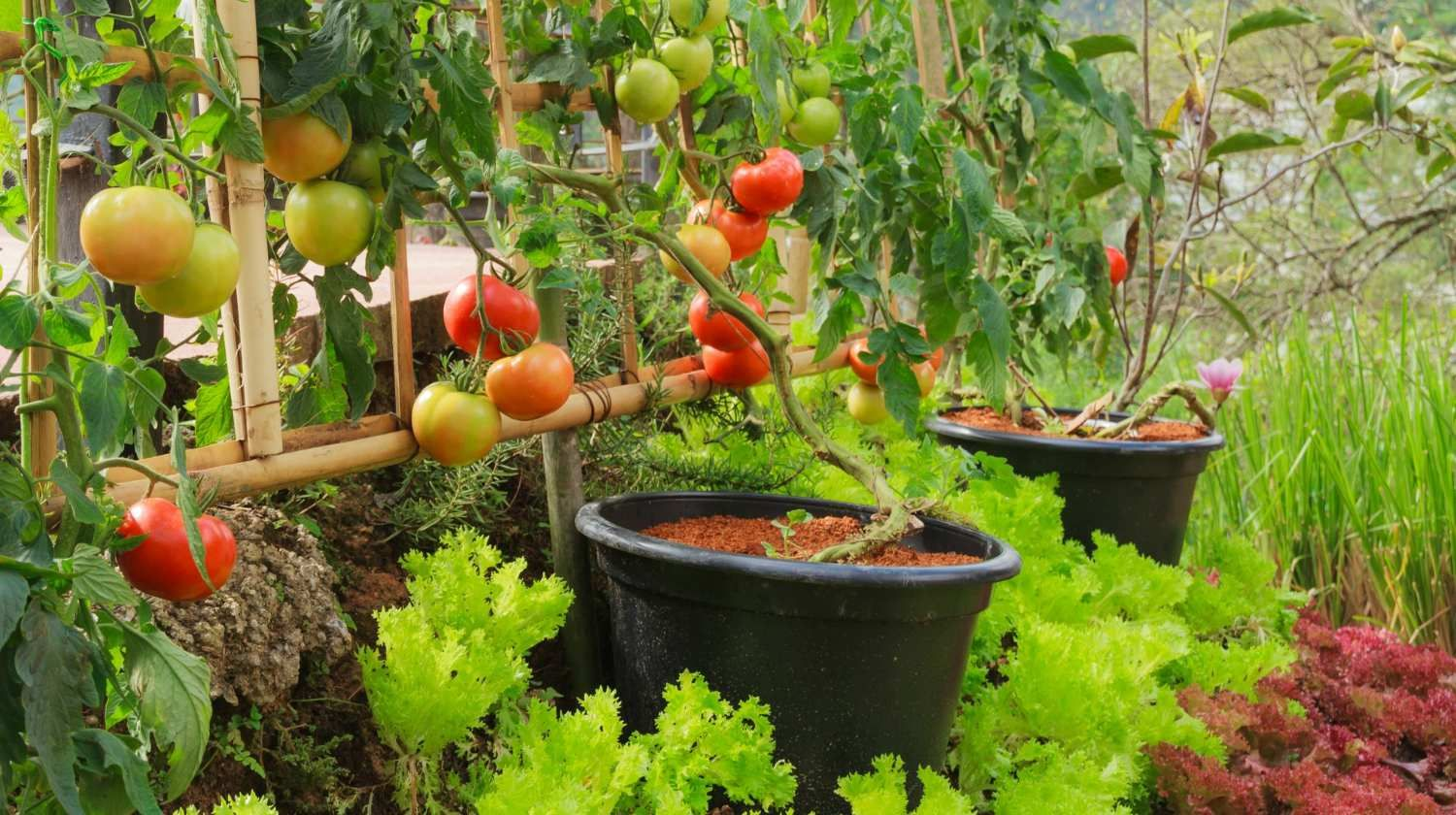 7 Secrets To Growing Fruit Trees In Containers Homesteading Starting A Vegetable Garden Miniature Fruit Trees Planting Vegetables