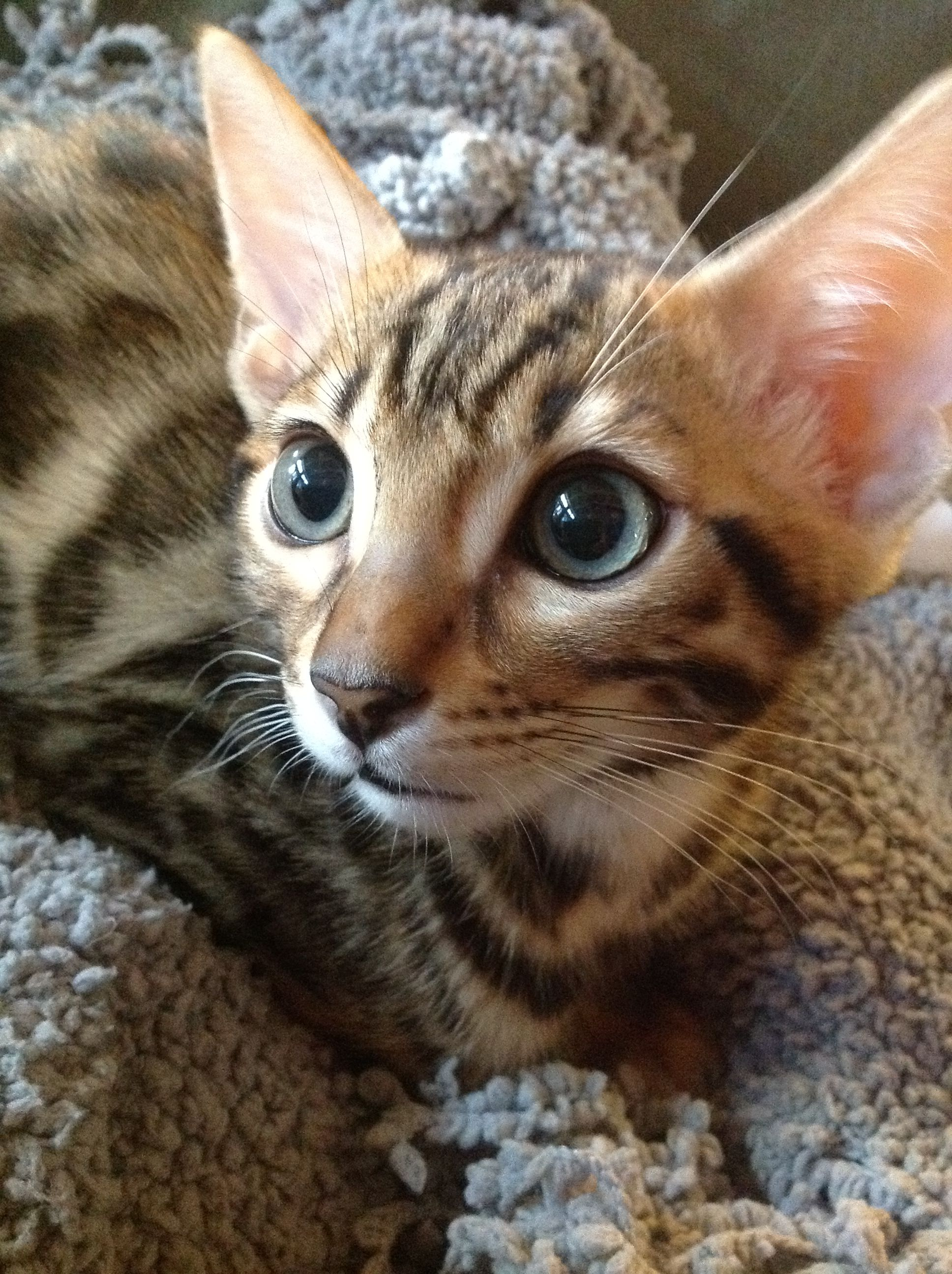 Winston 12 Week Old Bengal Kitten