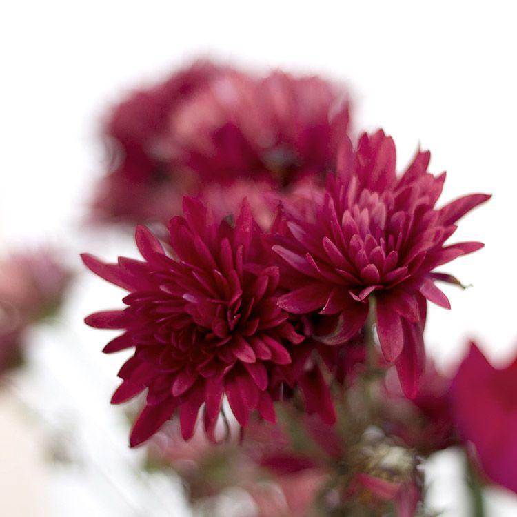 Chrysanthemum - November for TD