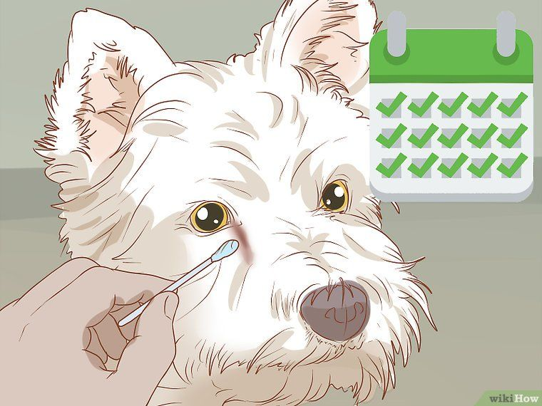 3 Ways To Remove A Tear Duct Stain From White Dogs White Dogs Dog Tear Stains Tear Stain Removal Dogs