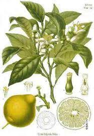 Image result for rutaceae