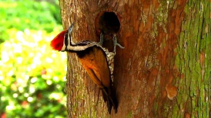Burung Pelatuk Bawang Jantan Dengan Khasiat Mistiknya Burung Burung Pelatuk Bawang