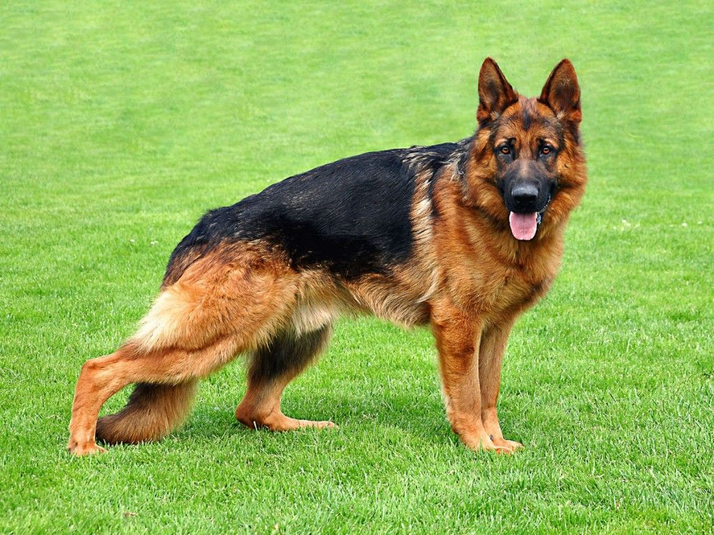 Housetraining A Gsd A Step By Step Guide German Shepherd Dogs