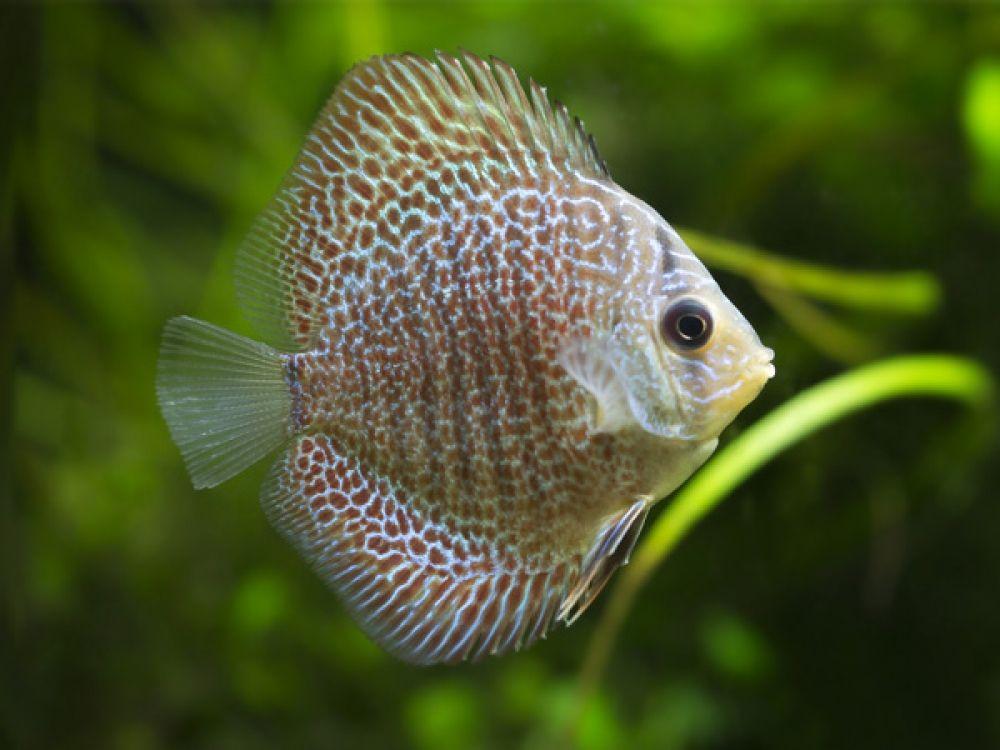 Snakeskin Discus Discus Discus Fish Discus Aquarium