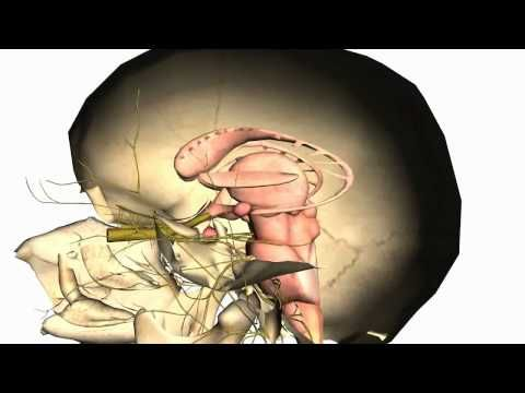 Anatomy Of The Head & Neck - Skull > Calvaria 02 | 3D anatomy ...
