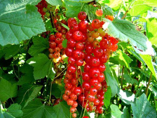 Currant   from Alpi Orobie (BG) - Italy - Ribes dalle Alpi Orobie