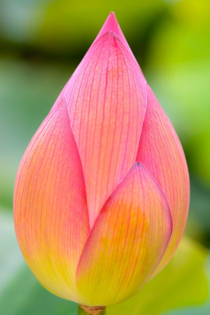 Lotus Flower Flowers Flora Flowers Trees To Plant