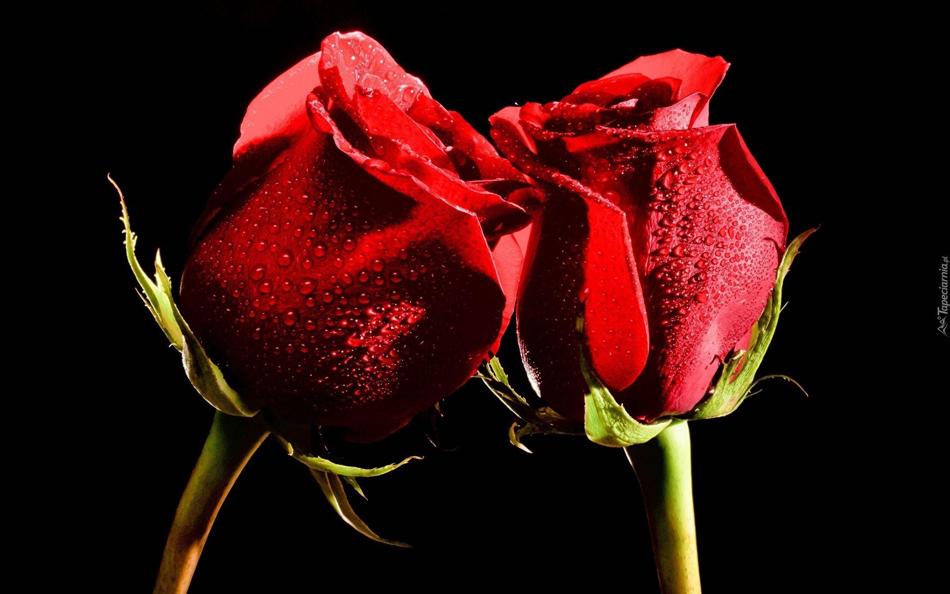 Kwiaty Czerwone Roze Tlo Czarne