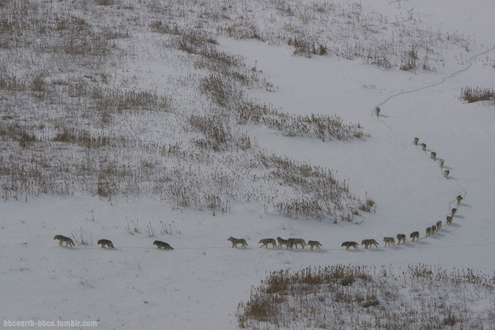 A Massive Pack Of 25 Timberwolves Hunting Bison On The Arctic
