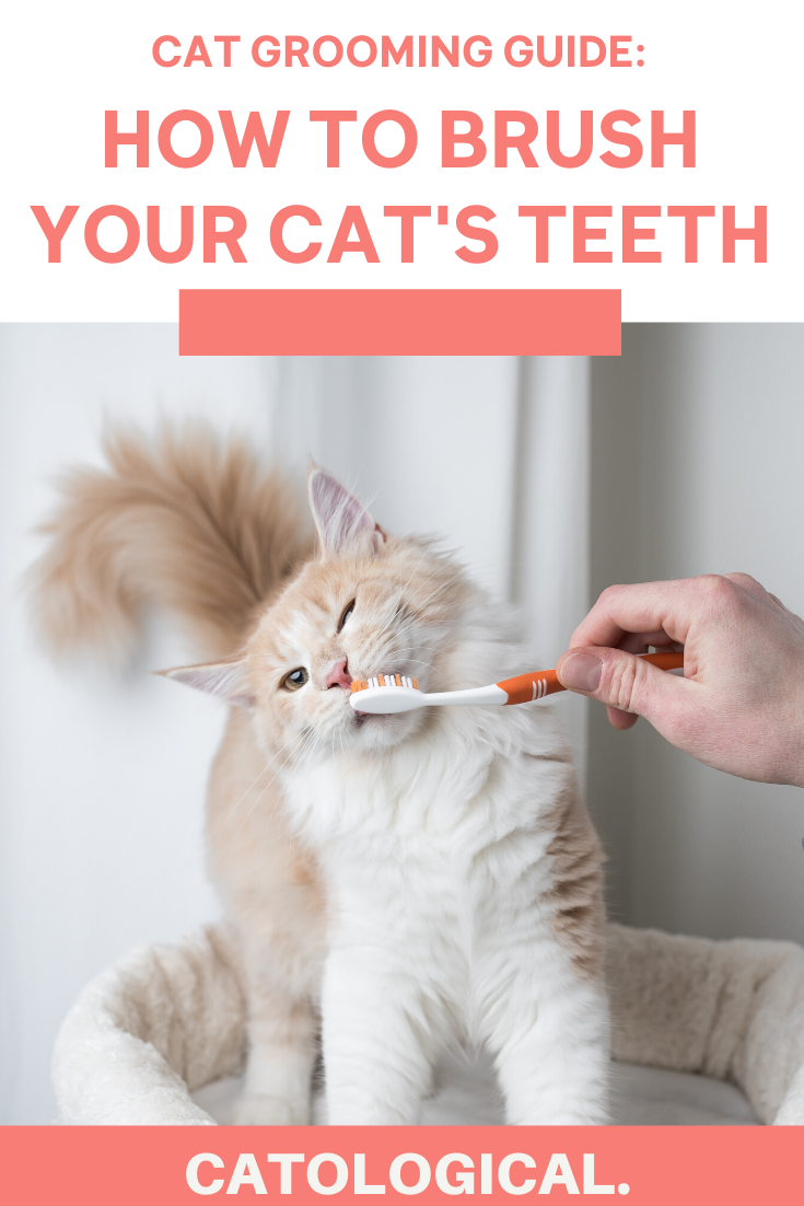 How To Brush Your Cat S Teeth At Home With The Best Dental Products In 2020 Cat Bad Breath Kitten Care Cats