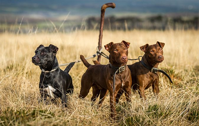 how to train a patterdale terrier