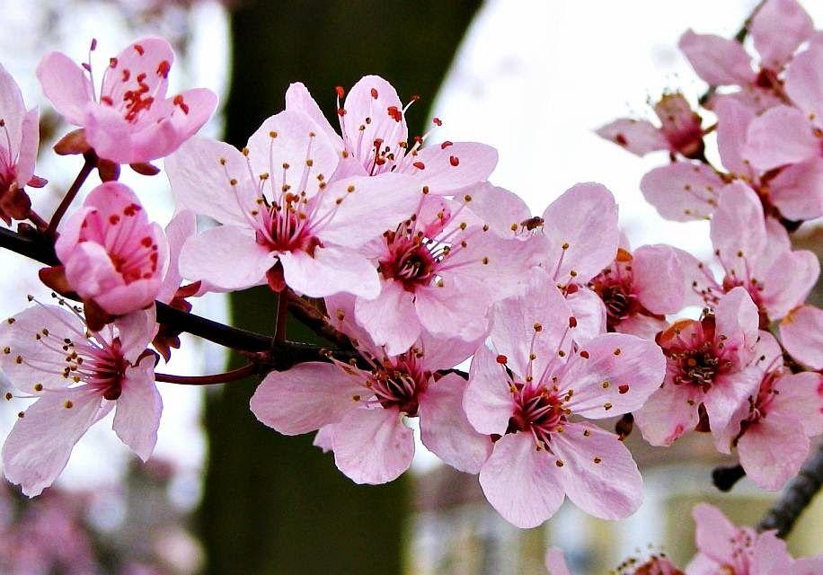 Gambar Wallpaper Bunga Sakura Jepang Cantik Caption Ig Keren Images Wallpapers Pinterest