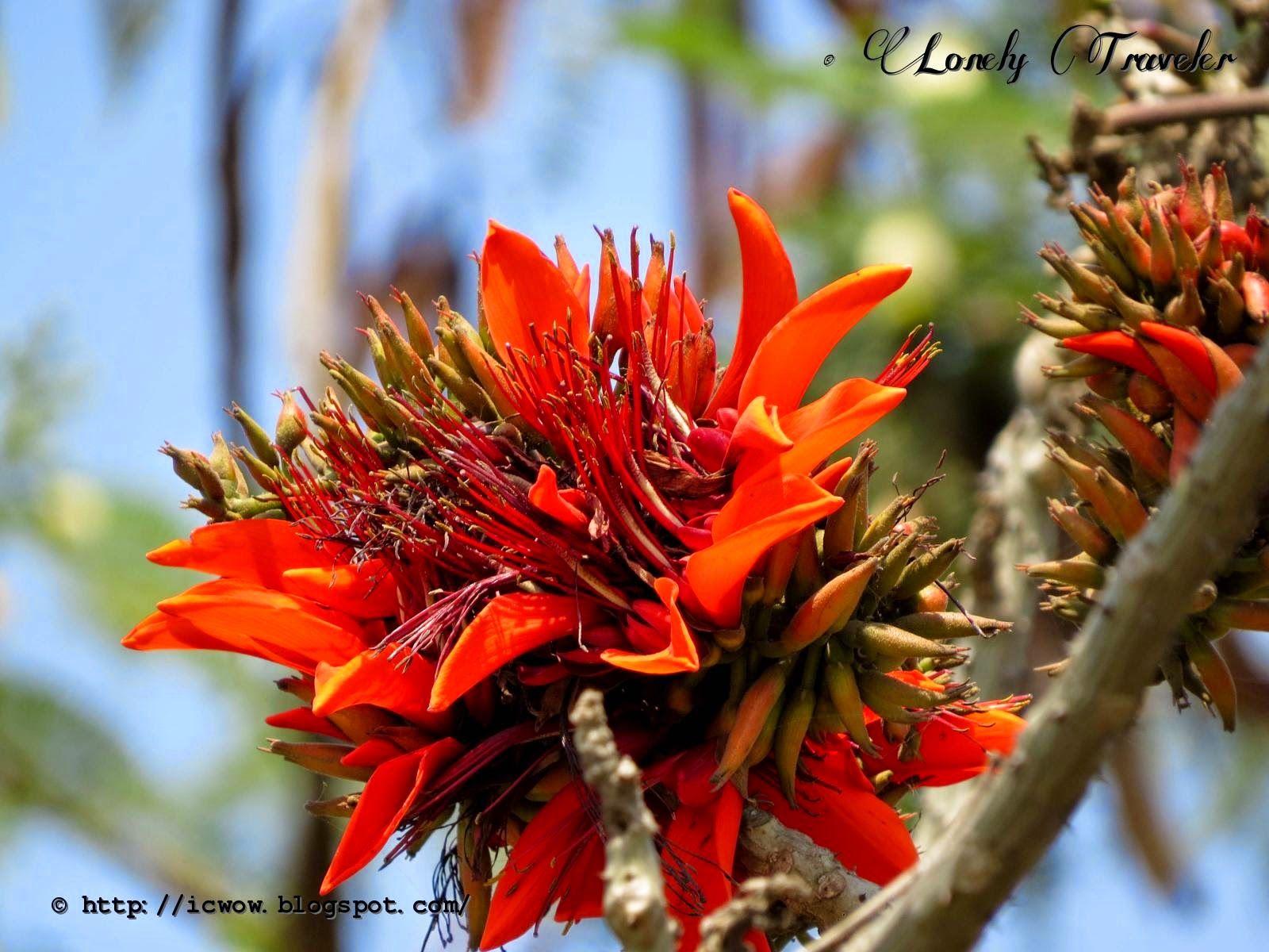 Indian Coral Flower (মান্দার ফুল) Erythrina variegata