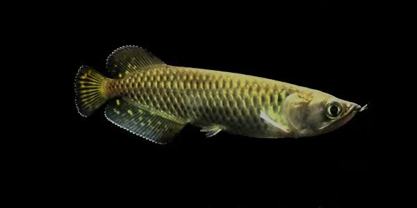 Australian Jardini Arowana Google Search Fish Fish Fish For