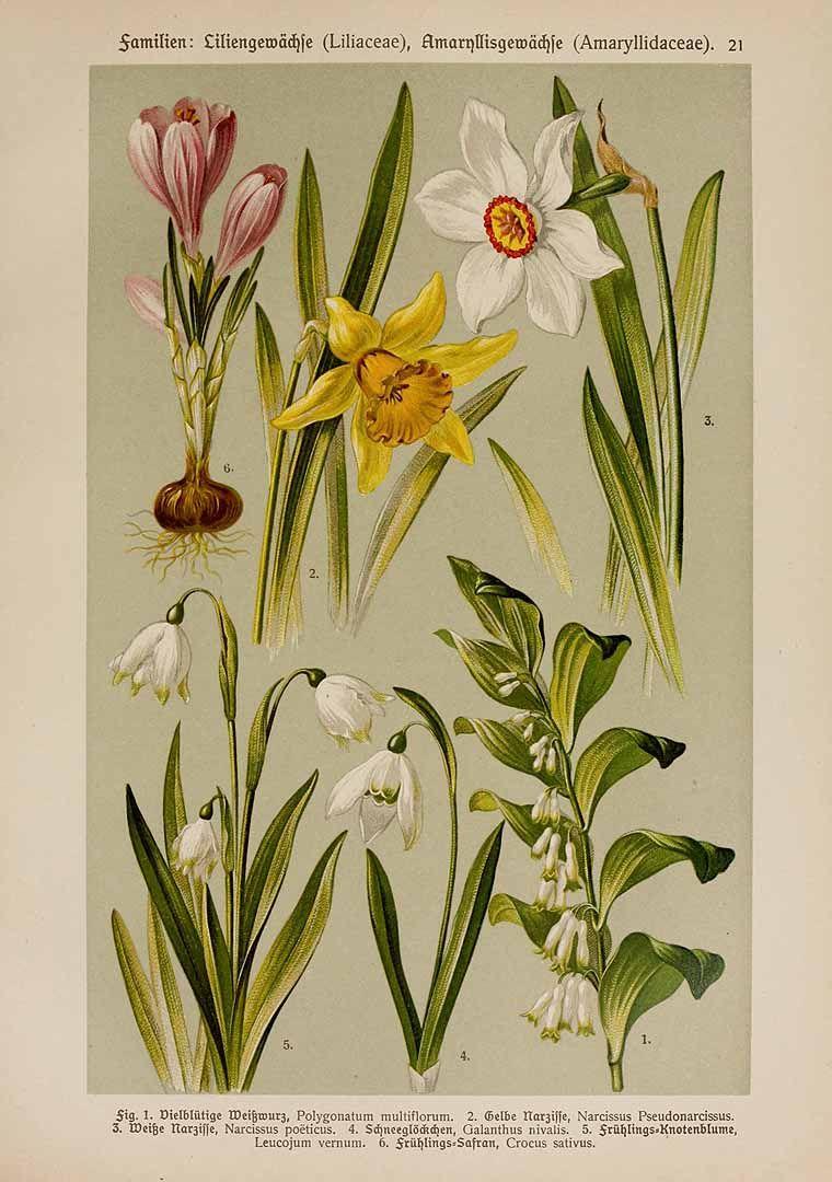 Spring flowers galantheae u hoffmann u donnert botanischer