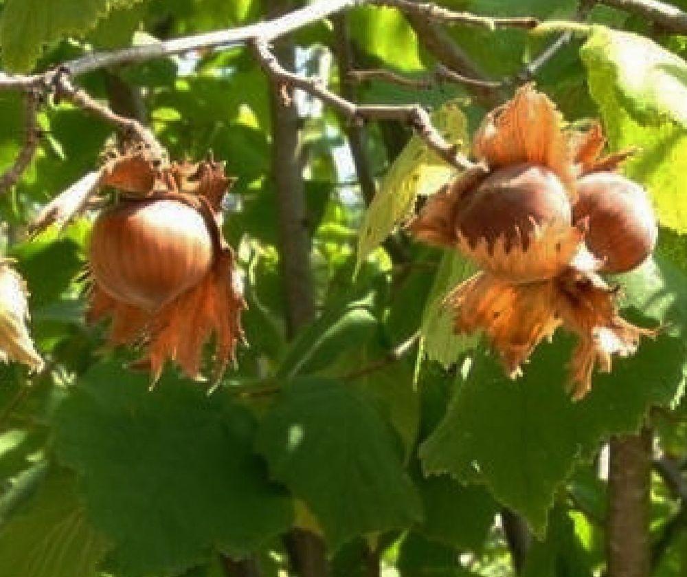 Hazelnut Tree 10 Bare Root 3 Foot Tall Ebay Gardening