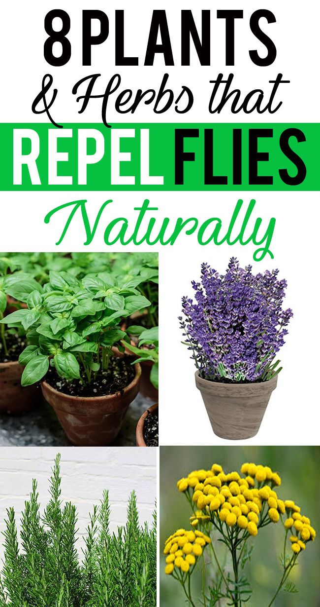 Not Just They Deter Flies But You Ll Love Them To Have In Your Garden However Ther Plants That Repel Flies Insect Repellent Plants Mosquito Repelling Plants