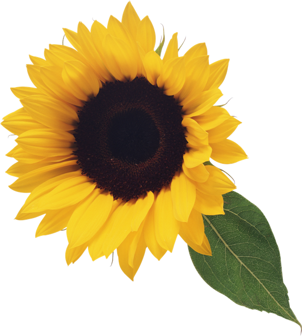Sunflower With Leaf Clipart Sunflower Pictures Sunflower Png Leaf Clipart