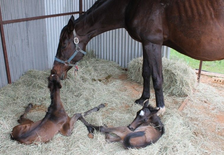 Former racehorse delivers twins - The Glen Rose Reporter : Local News