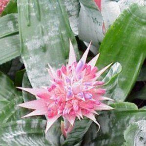 Aechmea fasciata nombre popular tipolog a planta vivaz - Plantas resistentes al sol ...