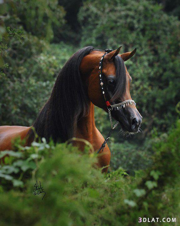 Arabian Horse Beautiful Arabian Horses Horses Arabian Horse