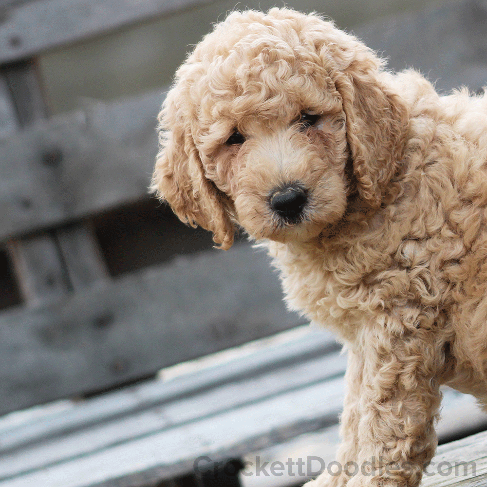 Goldendoodle Puppy With A Beautiful Curly Coat Super Cute Puppies Doodle Puppy Goldendoodle