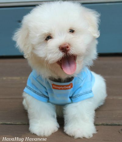 Photo Gallery Part Ii Puppies For Sale Havanese Puppies Dogs And Kids