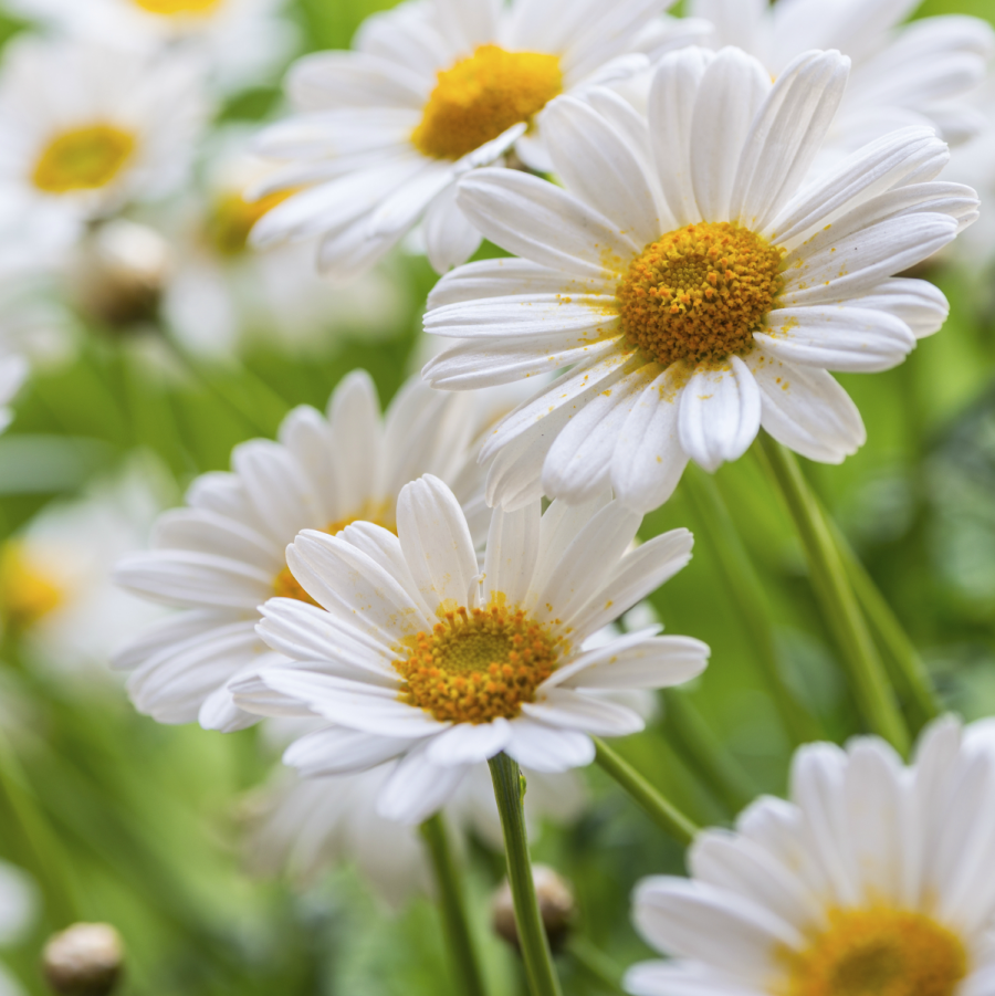 Daisies are like sunshine for the ground you have to let the daisies are like sunshine for the ground you have to let the sunlight flow jane lee logan daisy daisies flower flowers sunshine spring izmirmasajfo