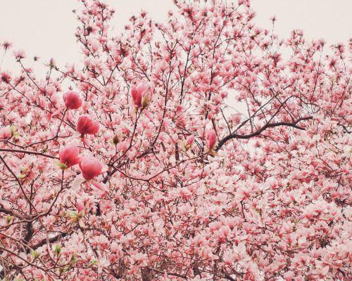 Ny Through The Lens New York City Photography Cherry Blossom Art Cherry Blossom Blossoms Art