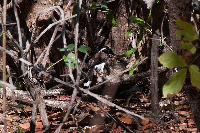 Foto gralha-cancã (Cyanocorax cyanopogon) por Evaldo Nascimento | Wiki Aves - A Enciclopédia das Aves do Brasil