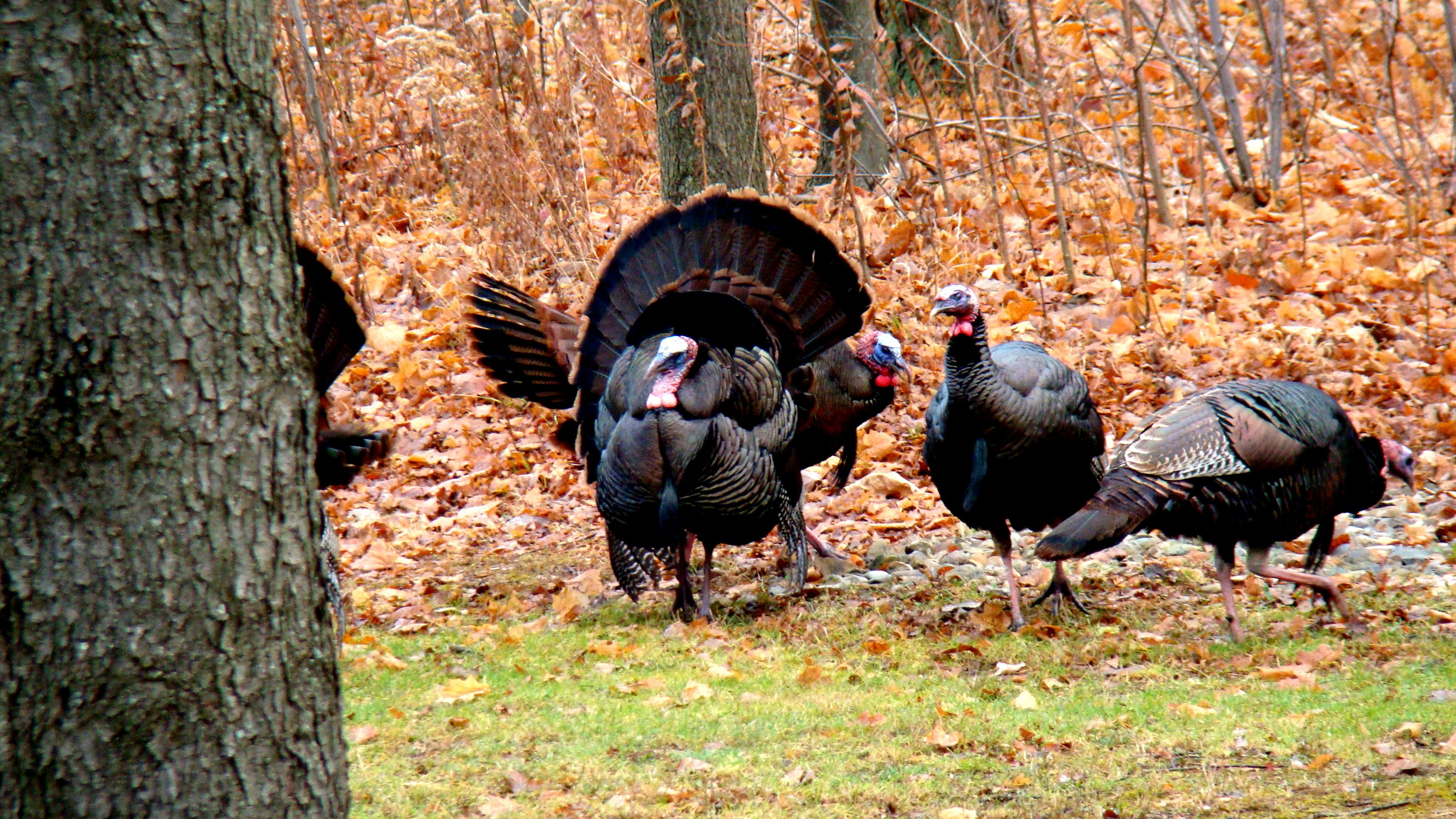Cmon spring season turkey hunting garden