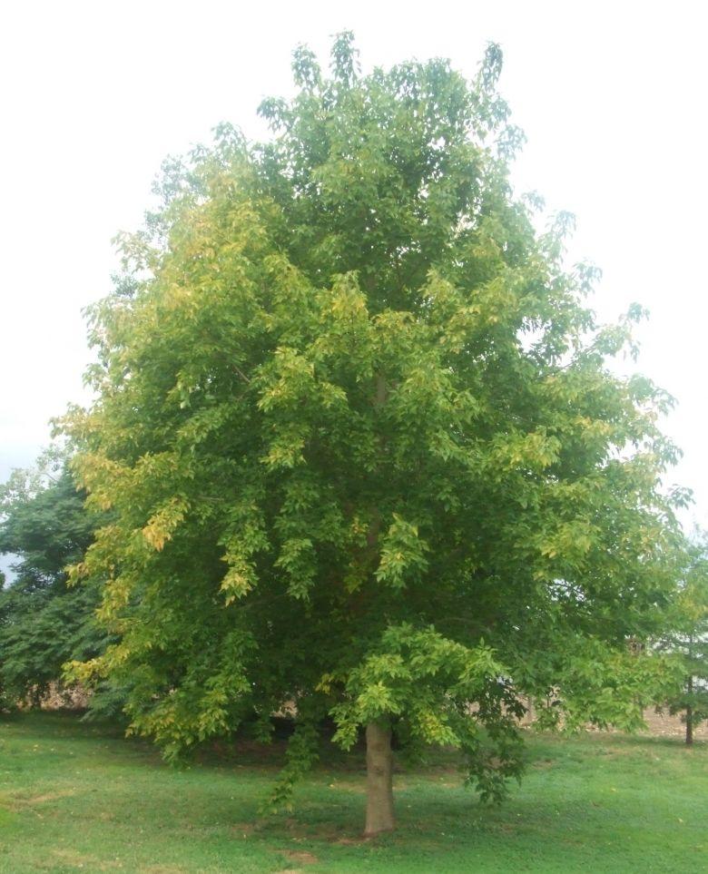 Box Elder Tree Trees Acer Growing Tree Trees To Plant