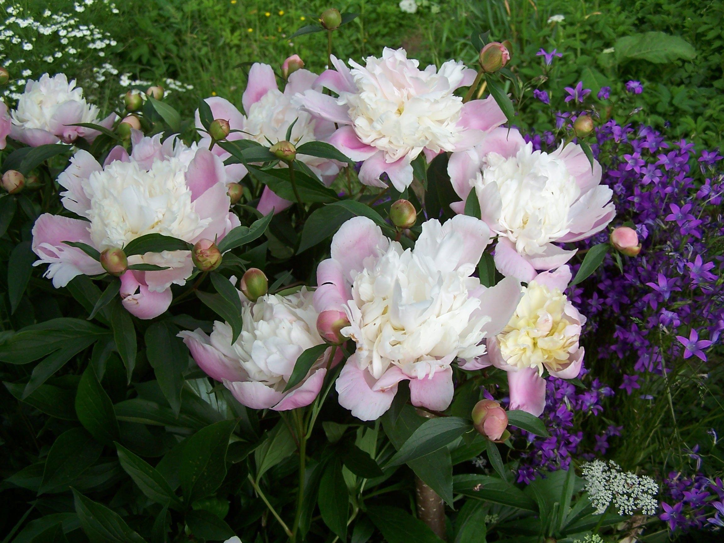 Piwonie W Ogrodzie Uprawa I Pielegnacja Deccoria Pl Plants Garden