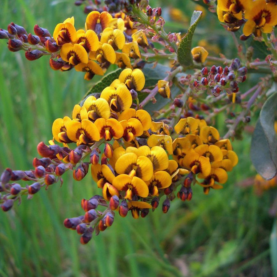 Daviesia latifolia. Attractive shrub with an erect smooth