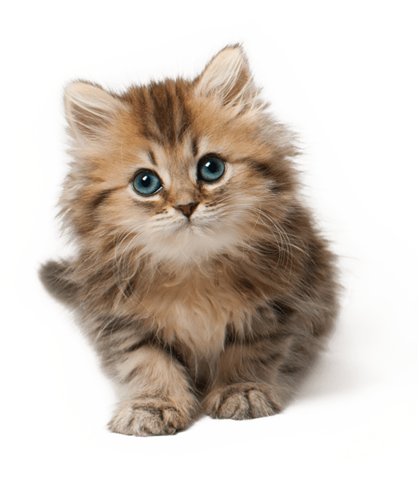 Cute Cat Kitten Png Png Image Kittens Cutest Cute Cats And Dogs Cute Cats