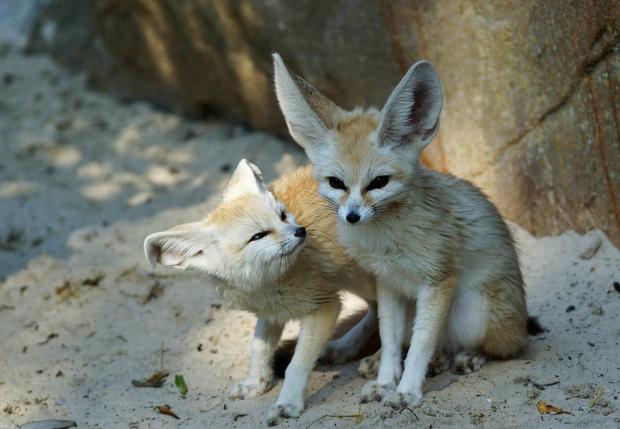 Cute fennec fox Fennec fox, Cute wild animals, Pet fox
