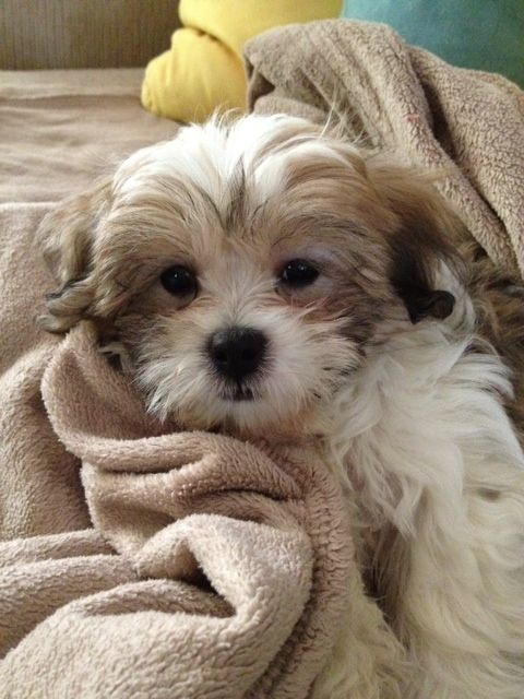 Lucy Ryan S Mom S Teddy Bear Pup Shih Tzu Bichon Mix Teddy