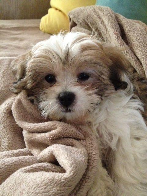 Lucy Ryan S Mom S Teddy Bear Pup Shih Tzu Bichon Mix Fluffy Puppies Cutest Dog Ever Scottie Dog