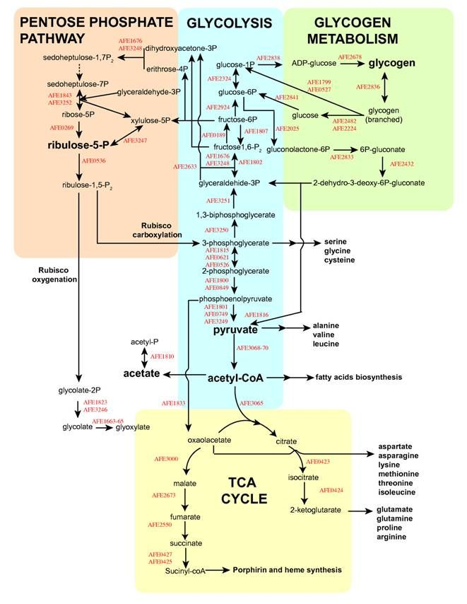 Cellular respiration diagram with carbohydrates lipids and amino cellular respiration diagram with carbohydrates lipids and amino acids google search ccuart Choice Image