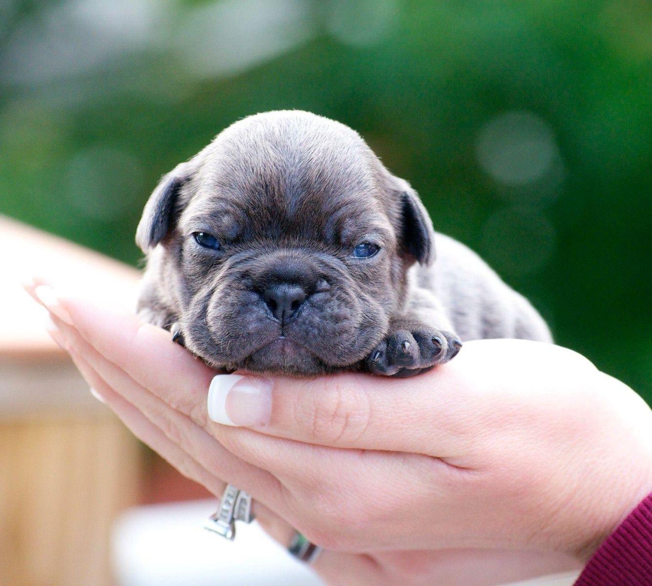 Newborn French Bulldog Puppy Buldog French Bulldog Puppies