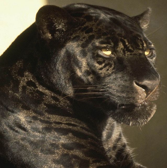 Black Leopard Svart Panter Katt Panter