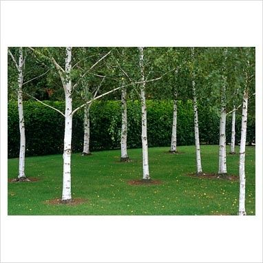 Winter Hill Tree Farm Moss White Silver Birch Betula Pendula こけ庭