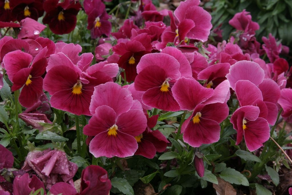 Pansy Delta Pure Rose Pansy Garden Pansies Horticulture
