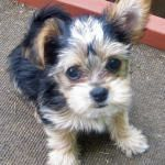 Small Puppies 10 Sweet Yorkie Mix Puppies Photo Collection