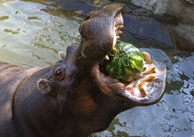 What do hippos eat in the zoo