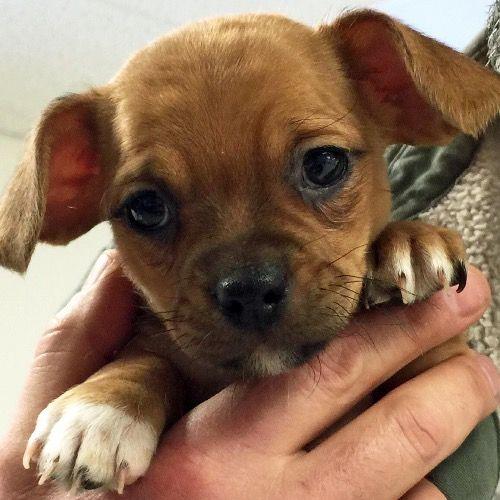 Hi I M Vinny An 8 Week Old Chihuahua Dachshund Shih Tzu Mix